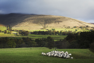 Large flock of sheep on a meadow, hills in the distance. - MINF01804