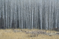 An aspen forest in autumn.  Thin white tree trunks of the quaking aspen in low light with autumnal understory. - MINF02032