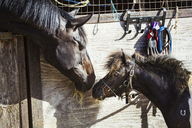 A horse and a pony looking at each other in a stable. - MINF02047