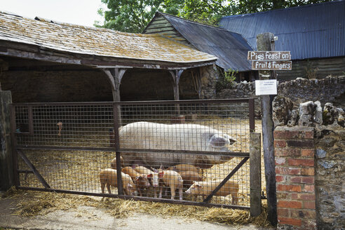 A mature pig and a litter of little piglets in a farmyard. - MINF02056