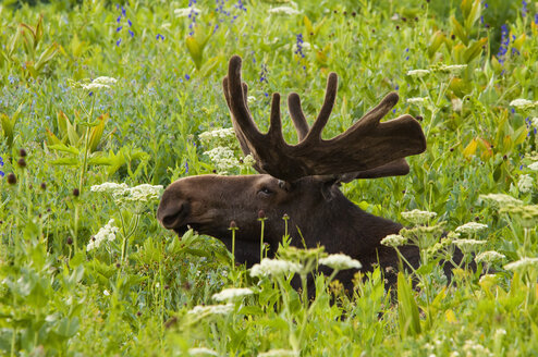 An adult moose. Alces alces. Grazing in the long grass in the Albion basin, of the Wasatch mountains, in Utah. - MINF02097