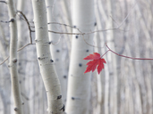 A single red maple leaf in autumn, against a background of aspen tree trunks with cream and white bark. Wasatch national forest. - MINF02143