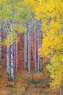 A forest of aspen trees in the Wasatch mountains, with striking yellow and red autumn foliage. - MINF02146