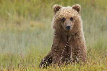 Brown bear, Lake Clark National Park, Alaska, USA - MINF02191