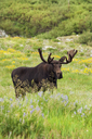 An adult moose. Alces alces. Grazing in the long grass in the Albion basin, of the Wasatch mountains, in Utah. - MINF02206
