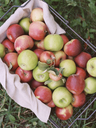 Apple orchard. A basket of apples. - MINF02277