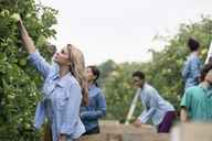 An organic orchard on a farm. A group of people picking green apples from the trees. - MINF02853