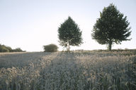 Germany, wheat field and trees at evening twilight - KMKF00427