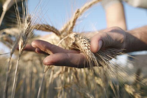 Man's hands holding wheat ears - KMKF00430