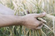 Man's hand holding unripe wheat ears - KMKF00436