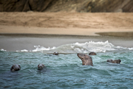 Seals emerging from water - ISF17469