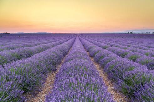 France, Alpes-de-Haute-Provence, Valensole, lavender field at twilight - RPSF00202