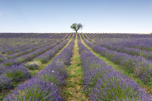 France, Alpes-de-Haute-Provence, Valensole, lavender field - RPSF00205