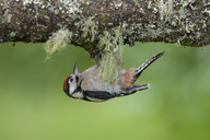 Great spotted woodpecker hanging at tree trunk - MJOF01525