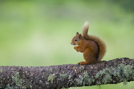 Portrait of eating Eurasian red squirrel  on tree trunk - MJOF01534