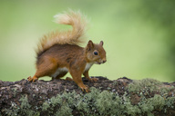 Portrait of Eurasian red squirrel  on tree trunk - MJOF01537