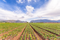 Spain, Andalucia, Zaffaraya valley, field of Lettuce - SMAF01099