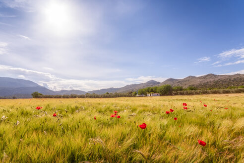 Spain, Andalucia, Zaffaraya valley, field of Barley and Poppy - SMAF01102