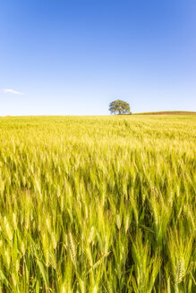 Spain, Andalucia, fields of barley near to Alhama de Granada - SMAF01111