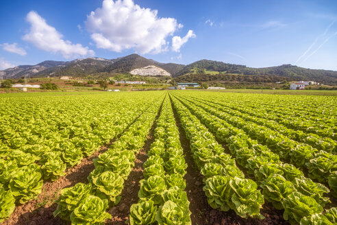 Spain, Andalucia, Zaffaraya valley, field of Lettuce - SMAF01120