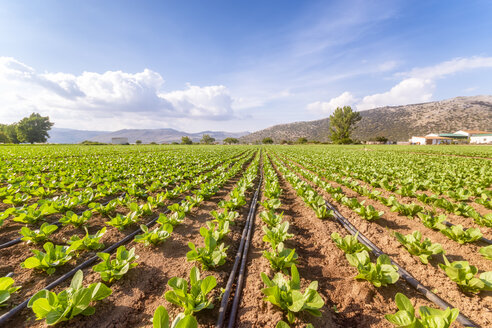 Spain, Andalucia, Zaffaraya valley, field of Lettuce - SMAF01123