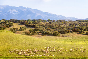 Spain, Andalucia, herd of Sheep - SMAF01129