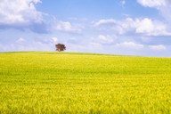 Spain, Andalucia, fields of barley near to Alhama de Granada - SMAF01132