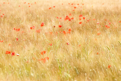 Field of Barley and Poppy - SMAF01135