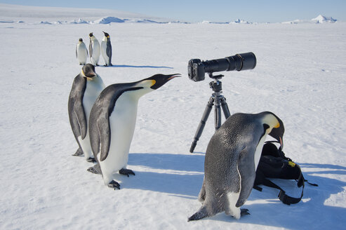 A small group of curious Emperor penguins looking at camera and tripod on the ice on Snow Hill island. A bird peering through the view finder. - MINF02928