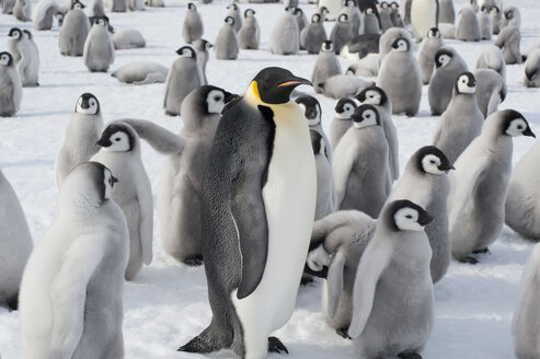 A group of Emperor penguins, one adult animal and a large group of penguin chicks. A breeding colony. - MINF02931