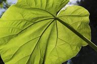 Backlit close up of large green leaf - ISF18215