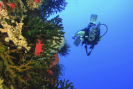 Diver swimming in coral reef - ISF18227
