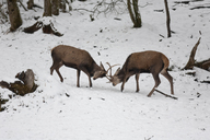 Red stags fighting - ZCF00639