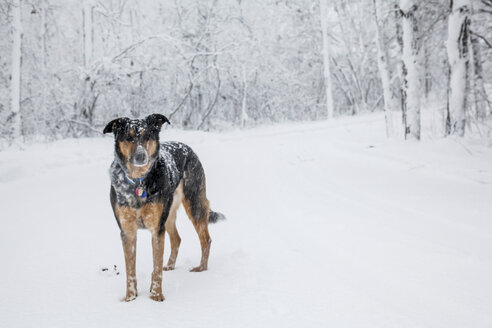 Dog standing in snow covered forest - ISF18895