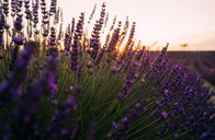 France, Alpes-de-Haute-Provence, Valensole, lavender blossoms on field at sunset - GEMF02214