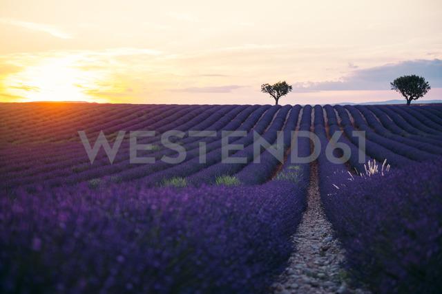 France, Alpes-de-Haute-Provence, Valensole, lavender field at sunset - GEMF02238