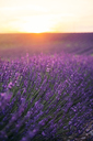 France, Alpes-de-Haute-Provence, Valensole, lavender blossom on field at sunset - GEMF02241