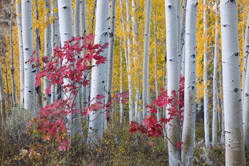 Fall colours in the Wasatch Mountains forests. Aspen trees with slender trunks and white bark. - MINF03031