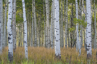The tall straight trunks of trees in the forests with pale grey bark and green foliage. - MINF03034