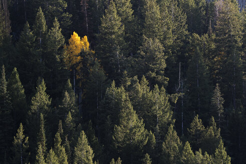 View from above of an aspen tree in bright autumn foliage, among dark pine trees. - MINF03040