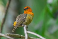 Mauritius, red fody, Foudia madagascariensis, perching on twig - MMAF00469