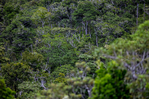 Mauritius, Riviere Noire District, primeval forest - MMAF00475