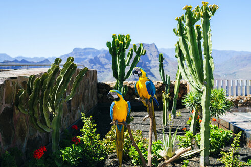 Spain, Canary Islands, Gran Canaria, Couple of parrots, blue-and-yellow aras - KIJF01985