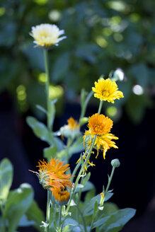 Pot marigold, Calendula officinalis - NDF00773