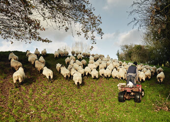 A farmer driving a quadbike herding a flock of sheep over the brow of a hill. - MINF03235