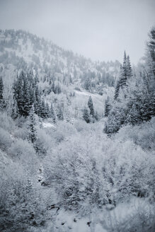The mountains in winter, view of pine forests in snow. - MINF03527