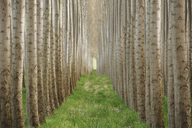Rows of commercially grown poplar trees. - MINF04013