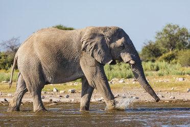 Namibia, Etosha National Park, African Elephant walking through waterhole - FOF09975