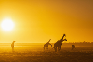 Africa, Namibia, Etosha National Park, Giraffes at sunset, Giraffa camelopardalis - FOF09980