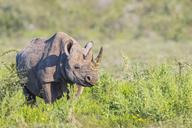 Namibia, Etosha National Park, African black rhino - FOF09991